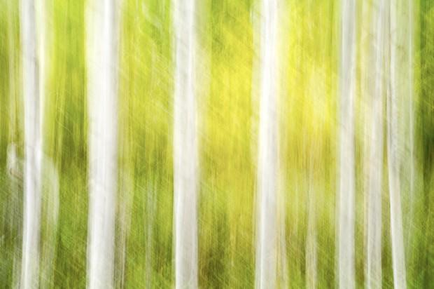 Aspen trees panning motion blur