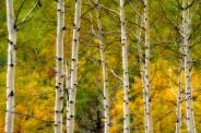Aspen trees with fall colours, Kootenay Plains, Alberta, Canada