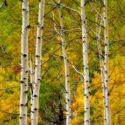 Kootenay-Plains-Fall-Aspens-1