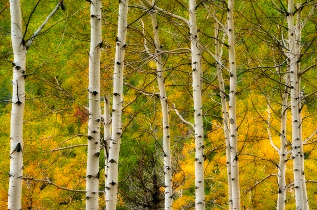 Aspen trees with fall colours