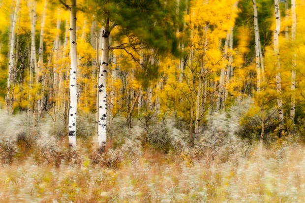 Aspen trees with fall colours long exposure