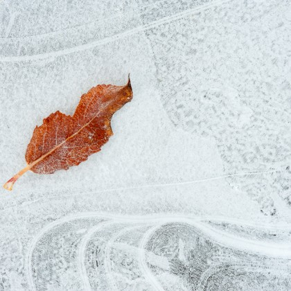 Athabasca-River-Ice-Leaf