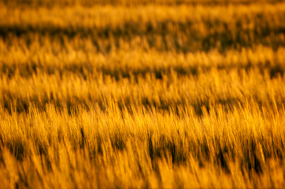 Crop-Rows-Sunset