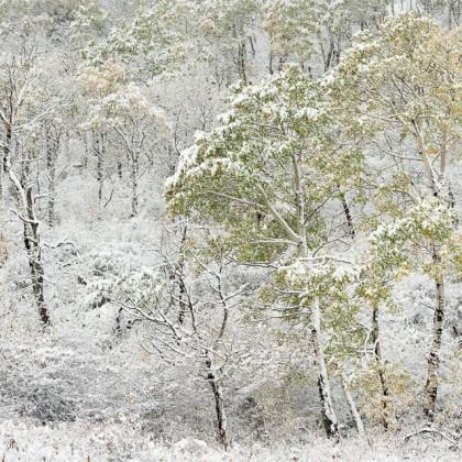 Cypress-Hills-Trees-Fall-Snow