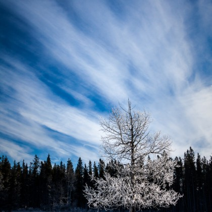 Frosted-Tree-Blue-Sky