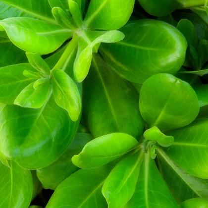 Kauai-Green-Leaves