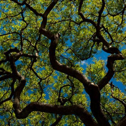 Kauai-Koloa-Monkeypod-Tree