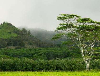 Kauai-Maluhia-Road-Tree