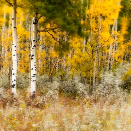 Kootenay-Plains-Fall-Aspens-2