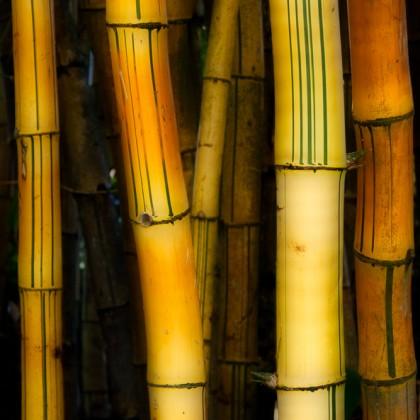 Maui-Bamboo