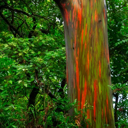 Maui-Rainbow-Eucalyptus-Tree