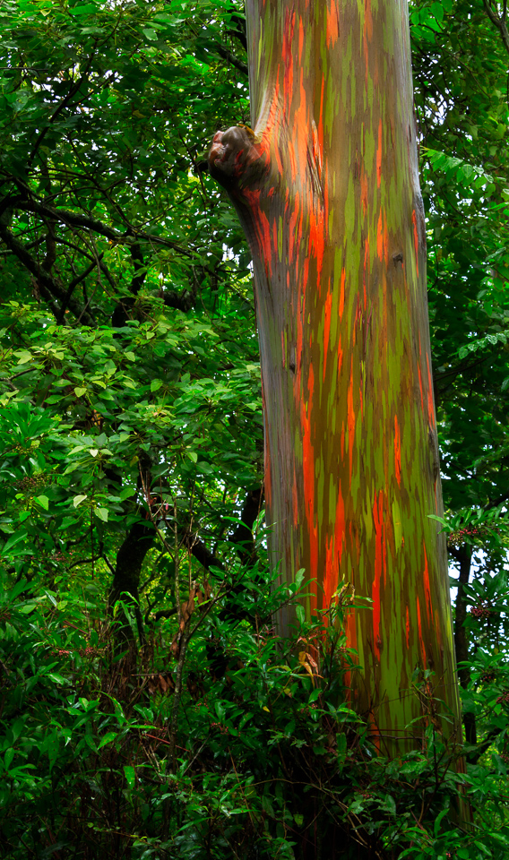 Image result for rainbow eucalyptus tree