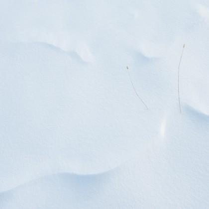Prairie-Snow-Drift-Grass-1