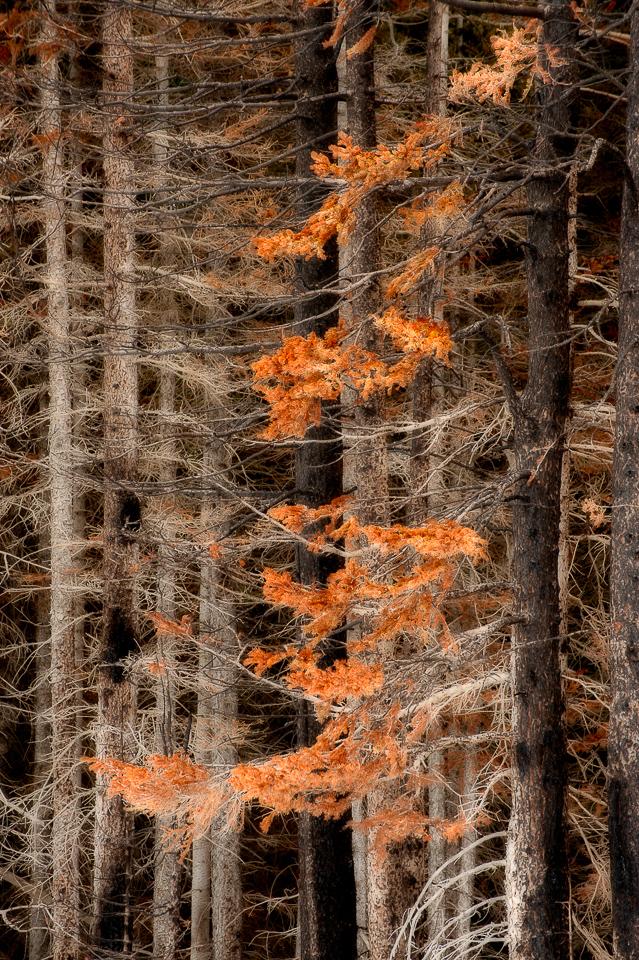 Spray-Lakes-Burned-Trees