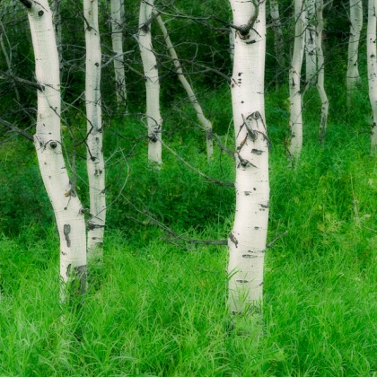 Aspen tree trunks in summer, Waterton Lakes National Park, Alberta, Canada