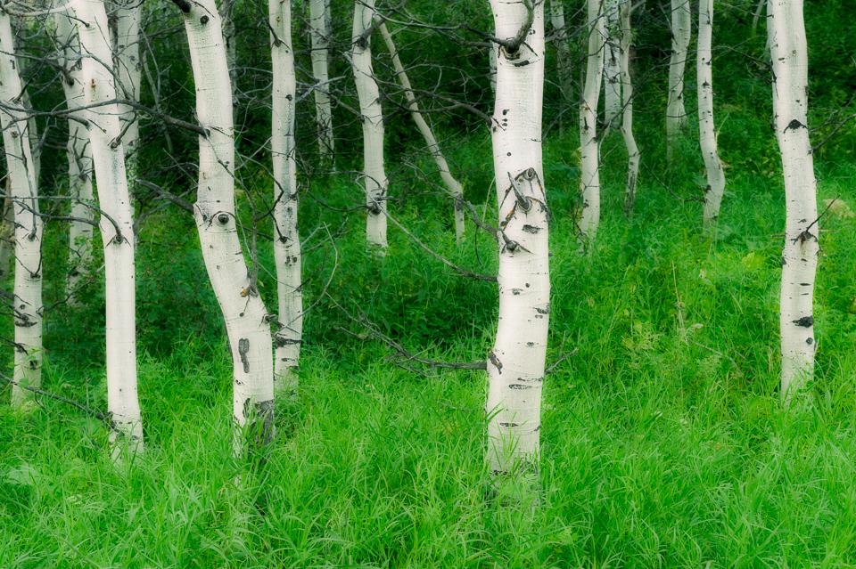 Waterton-Summer-Aspens